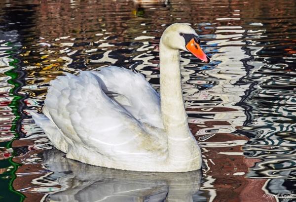 Swan between reflections by joop_