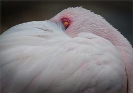 PeekAboo Flamingo