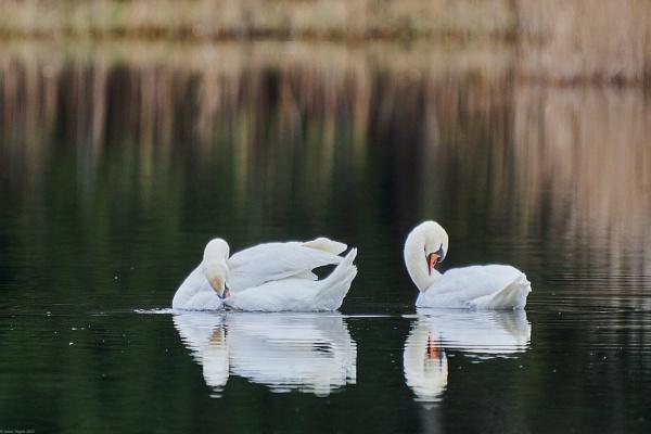 Mute swan (Cygnus olor) - Gulbe nebyle by LotaLota