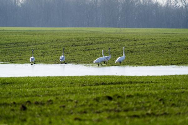 Whooper swan (Cygnus cygnus) – Gulbe giesmininke by LotaLota