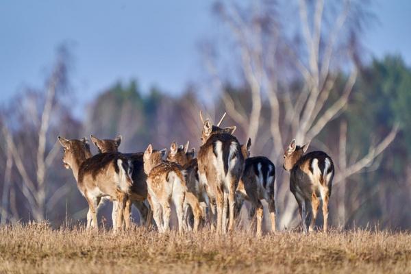 Fallow deer (Dama dama) - Danielius by LotaLota