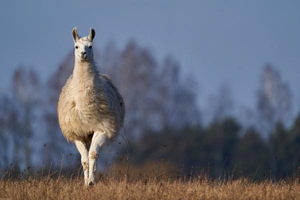 Llama (Lama) - Lama by LotaLota