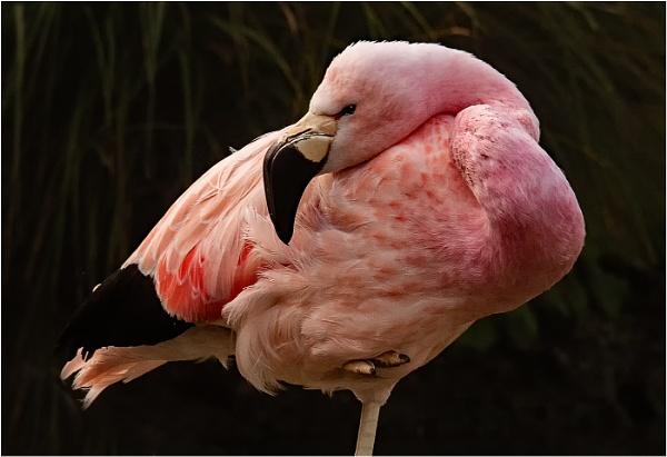 Flamingo by dven
