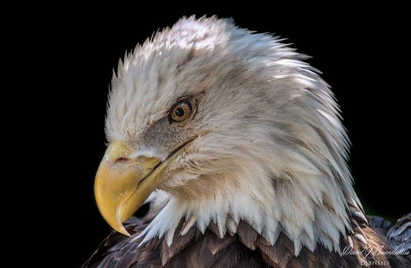 American Eagle by DBoardman