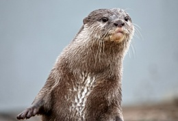 Asian Short Clawed Otter.