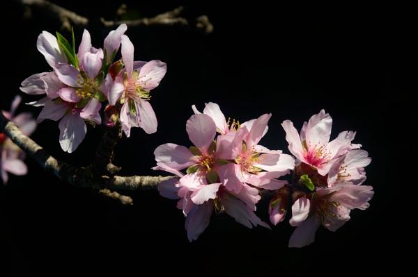 Almond Blossum by Pmitch