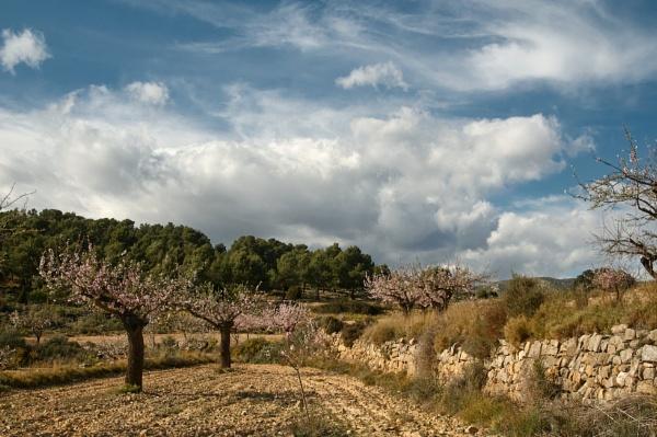 Almond trees by Pmitch