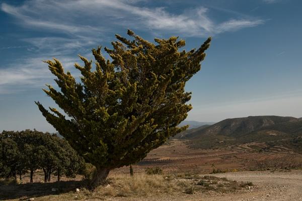 Wind blown tree by Pmitch