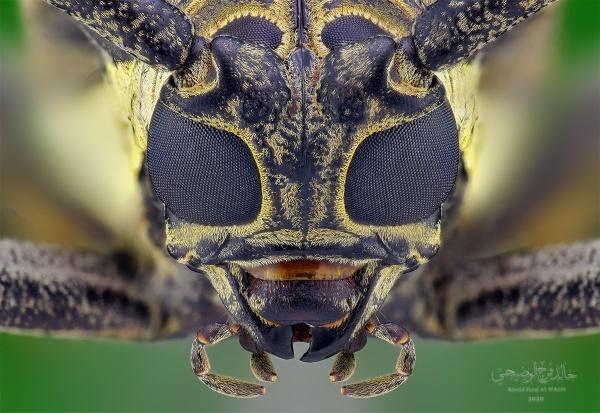 Batocera rufomaculata by abuelias