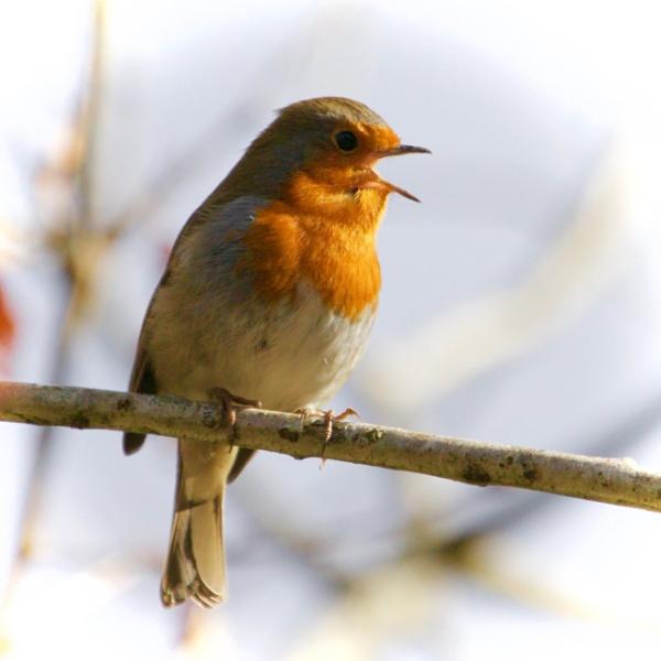 Robin by martin174