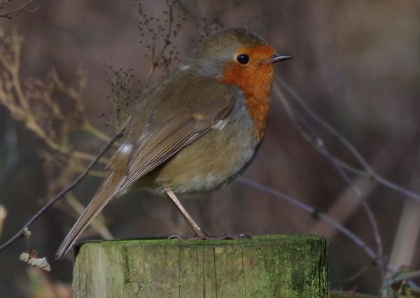 Woodland Robin by Kako