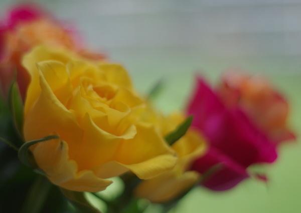 Roses by Kako