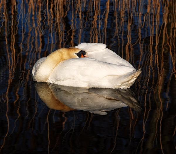 Sleepy Swan in the Morning Light. by Buffalo_Tom