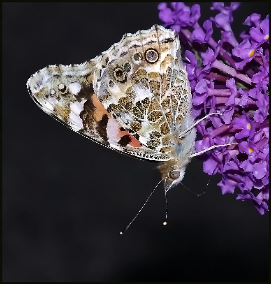 Painted Lady Nectaring - On Buddleia !