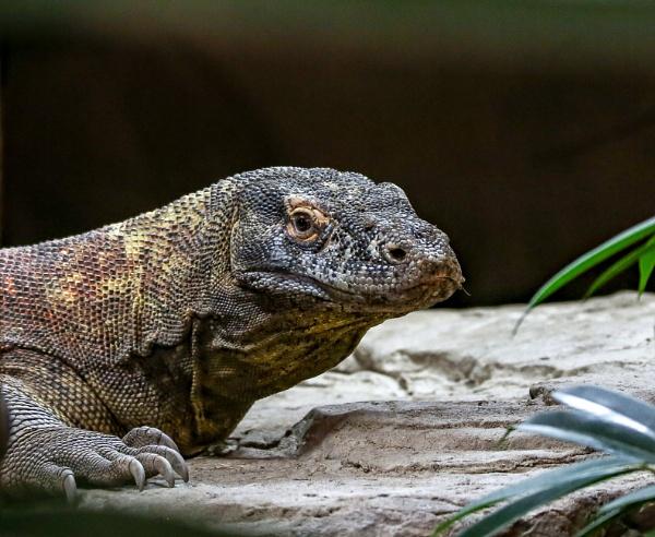 Komodo Dragon by bobelle