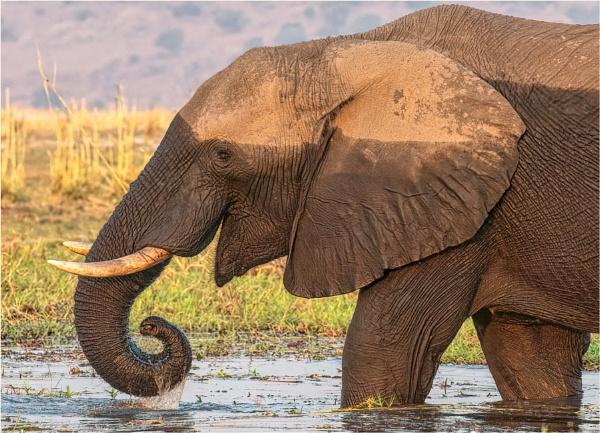 Elephant feeding by mjparmy