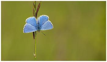 Adonis Blue - Polyommatus bellargus.