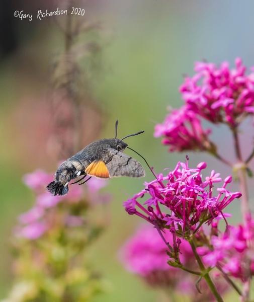 hummingbird hawk moth by djgaryrichardson