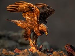 Golden Eagle on Cow carcass