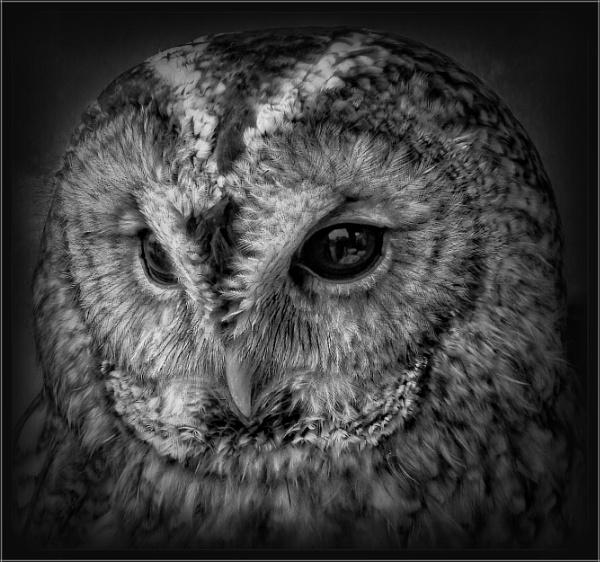 Tawny Owl (6) by PhilT2
