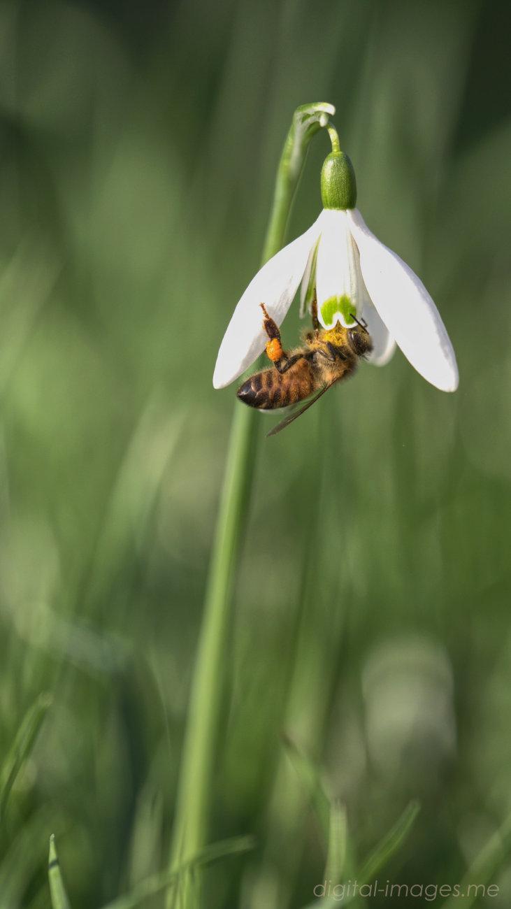 Snowdrop & Bee