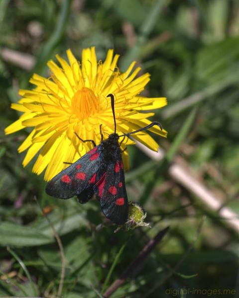 Burnet Moth by Alan_Baseley