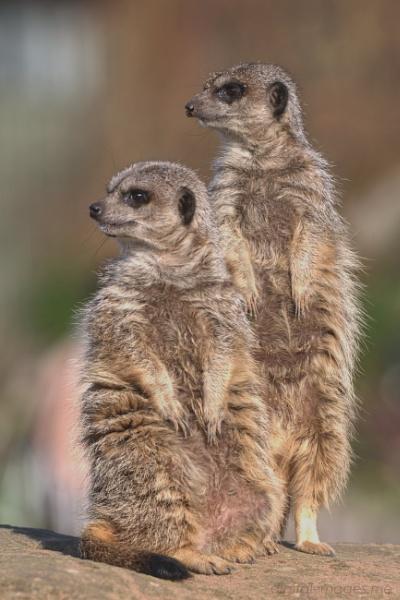 Meerkats by Alan_Baseley