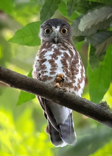 Brown Hawk Owl by jasonrwl