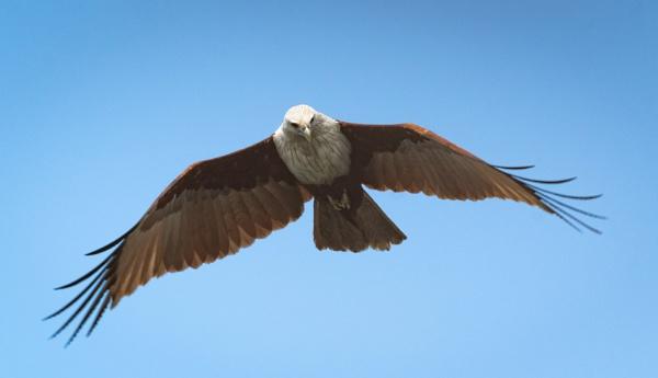Brahminy Kite by jasonrwl