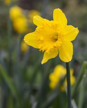 Early Daffodil