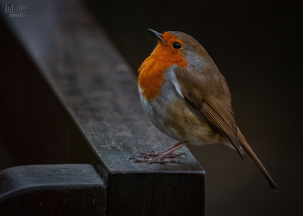The Robin by MartinWait