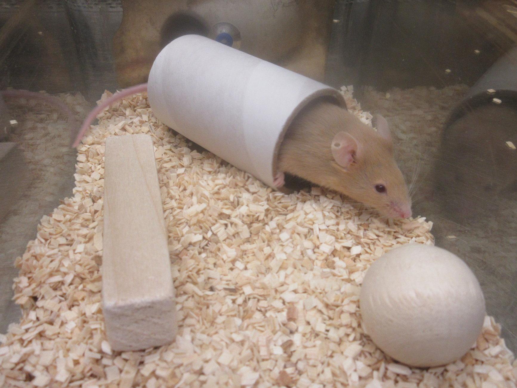 Mouse demonstrating environmental enrichment