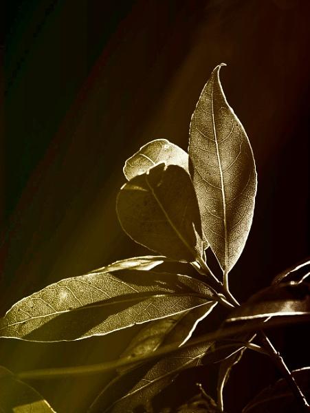 Bay Leaves by akh