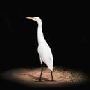 Great Egret by Coen
