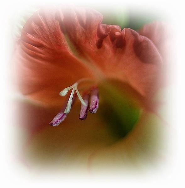 Gladioli............ by Mollycat