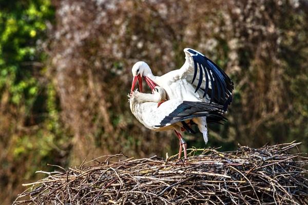 Mating Storks 2020 by aldasack1957