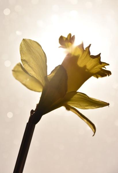 Backlit daffodil by Madoldie