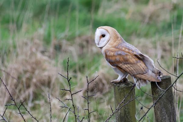 Barn Owl by Wanilson