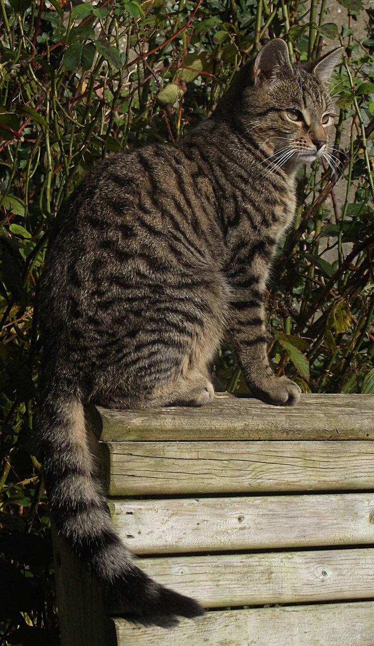 Mackerel tabby cat - pet