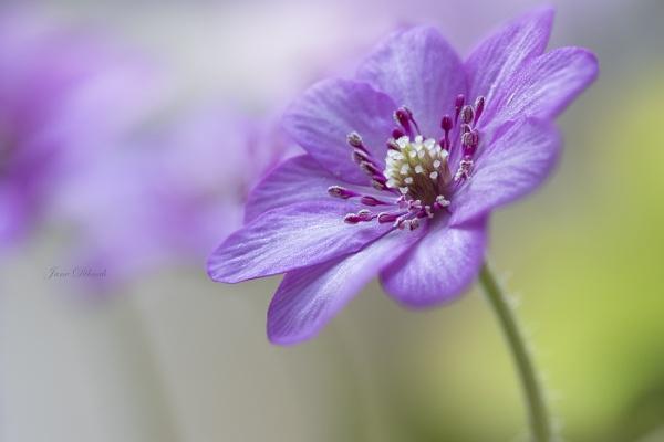 Hepatica japonica by janedibnah