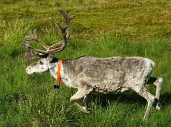 Lead reindeer