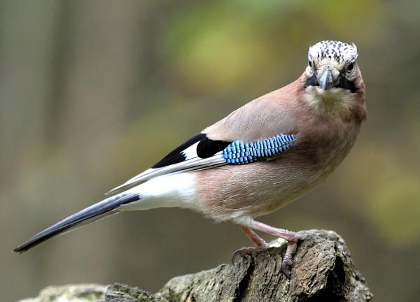 Jay Bird 2 by robertsnikon