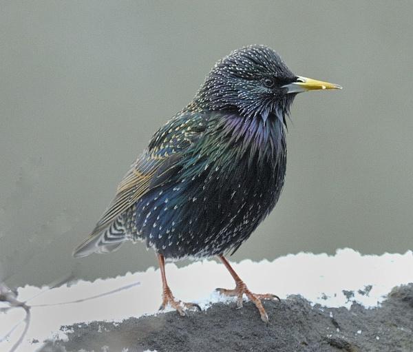 Starling Bird by robertsnikon