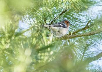 Finch in Espoo