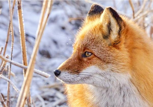 Fox in Nemuro 4 by hannukon