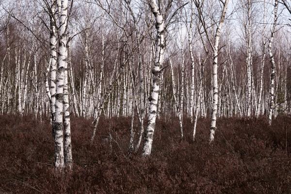 Birch grove by LotaLota