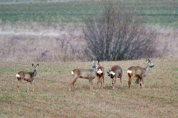 Roe-deers (Capreolus capreolus) - Stirnos by LotaLota