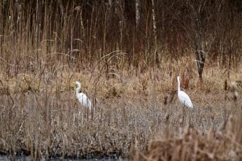 White egrets on the edge of the marsh