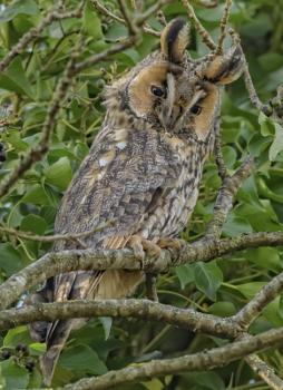 Long-eared owl in tree