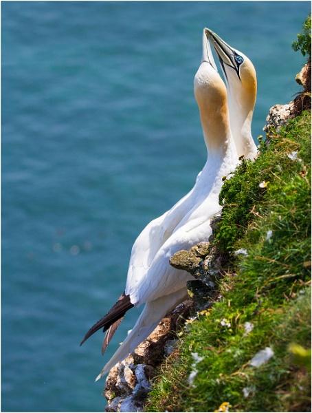 Gannets on Bempton Cliffs by wobby